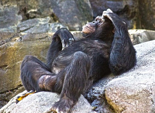 CHIMP RELAXING.LR_0018