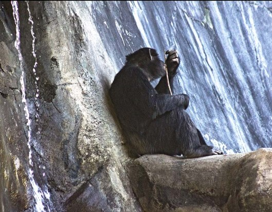 CHIMP SITTIN'.LR_0021