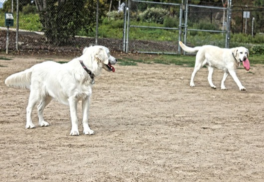 TWO WHITE RETRIEVERS_3781.lr